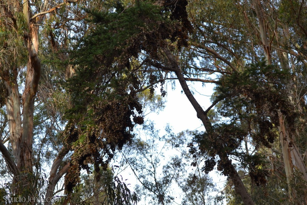 Monarch Grove in Pismo Beach, California.