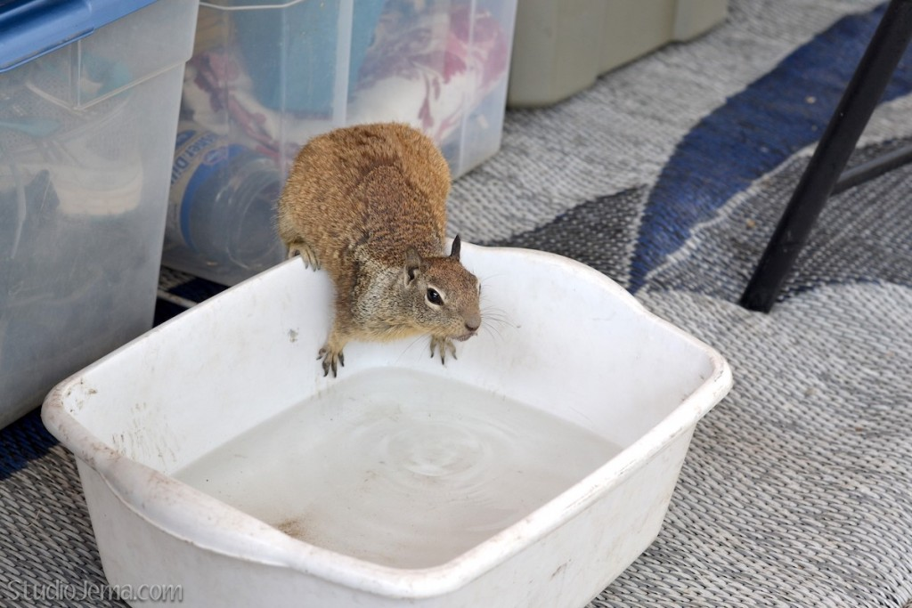 California Ground Squirrel getting a drink of water.