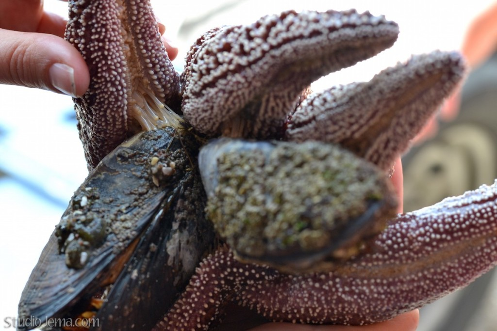 Starfish eating mussels at Faria Beach.