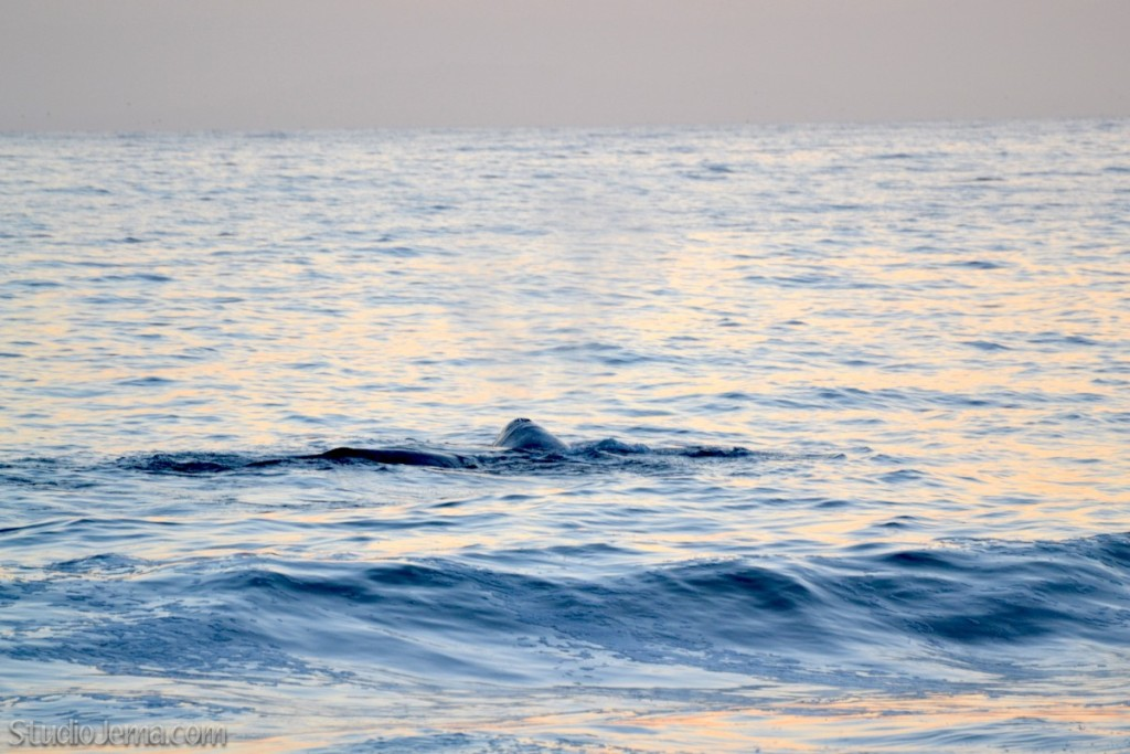Whales migrating north on the California coastline.